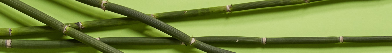 junger Bambus