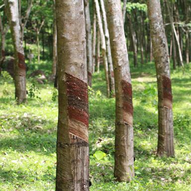 Plantage Gummibaum